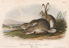 Townsend's Rocky Mountain Hare by Audubon