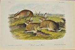 """Worm-wood Hare"" an Original Audubon Hand Colored Quadruped Lithograph"
