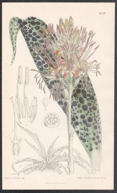 Agave Protuberans, Mexico, antique botanical succulent flower lithograph print