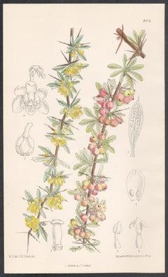 Berberis Wilsonae, antique botanical flower lithograph print