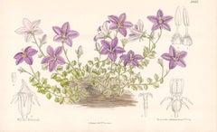 Campanula Arvatica, antique botanical flower lithograph print