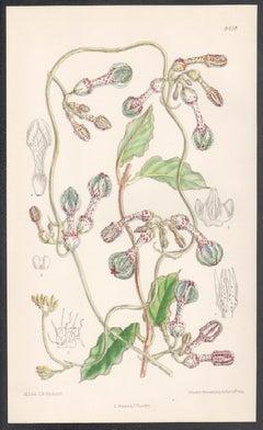 Ceropegia Thorncroftii, antique botanical flower lithograph print
