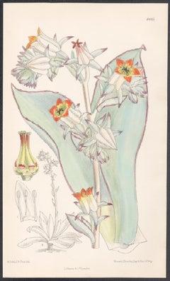 Cotyledon Subrigida, antique botanical flower lithograph print