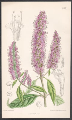 Elsholtzia Stauntoni, China, antique botanical purple flower lithograph print