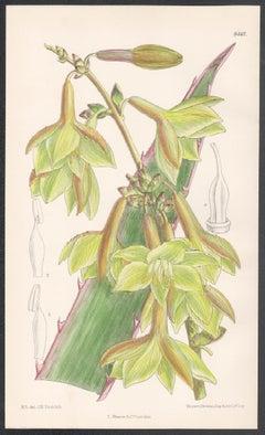 Furcraea Elegans, Mexico, antique botanical flower lithograph print