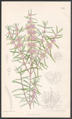Hypocalymma Robustum, Australia, antique botanical pink flower lithograph print