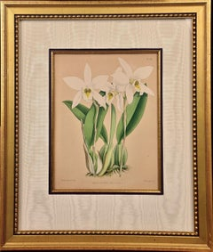 """Framed 19th C. Hand-Colored Engraving of """"Laelia Anceps"""" Orchids by J. Fitch"""