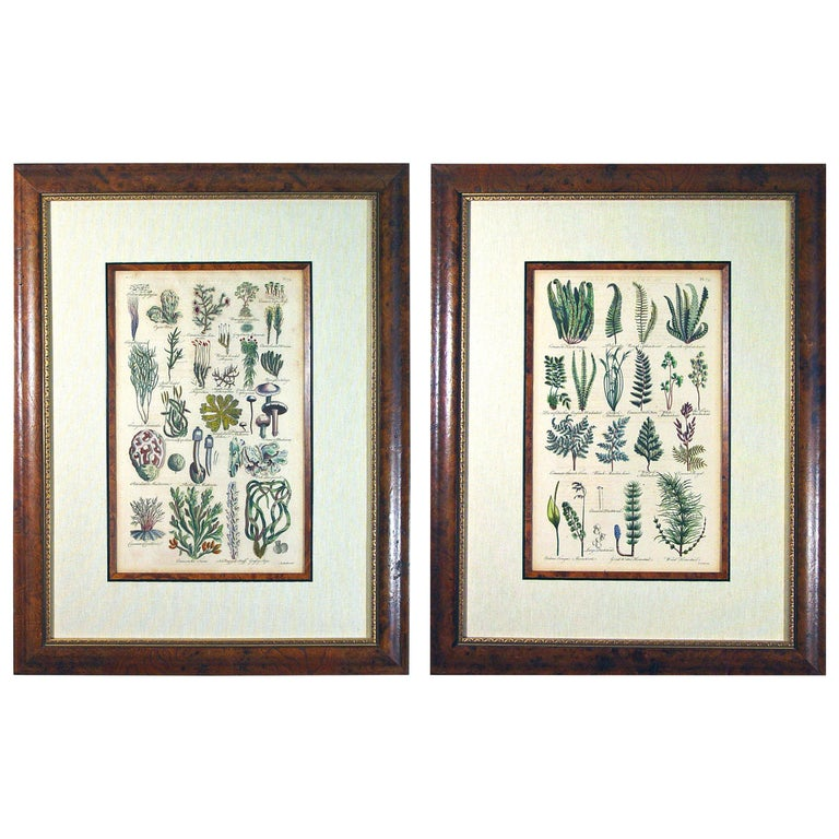 John Parkinson 17th Century Botanical Engravings of Mosses and Ferns For Sale