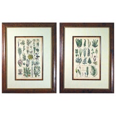 John Parkinson 17th Century Botanical Engravings of Mosses and Ferns