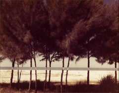 Australian Pines, Fort DeSoto, Florida (February 1977)