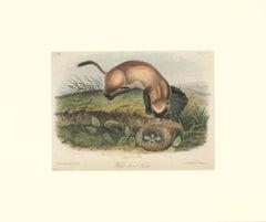 Black Footed Ferrett by Audubon