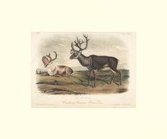 Caribou or American Rein Deer by Audubon