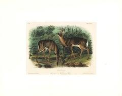 Common or Virginian Deer by Audubon