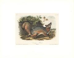 Gray Fox by Audubon