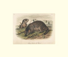 Hoary Marmot The Whistler by Audubon