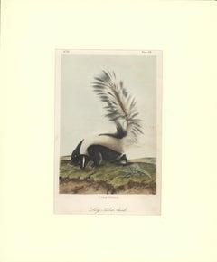 Large Tailed Skunk by Audubon