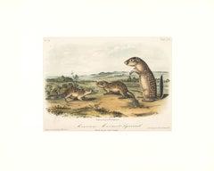 Mexican Marmot Squirrel by Audubon