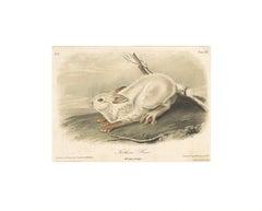 Northern Hare by Audubon