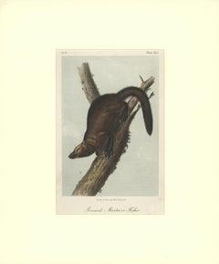 Pennant's Marten or Fischer by Audubon