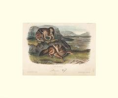 Prairie Wolf  by Audubon