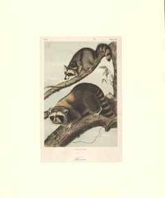 Raccoon by Audubon