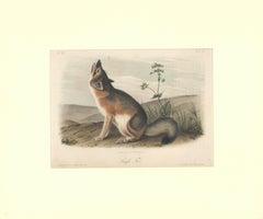 Swift Fox by Audubon