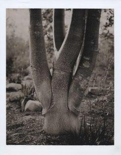 """Martha Stewart Living Magazine, Australian Tree"", California, 2005"