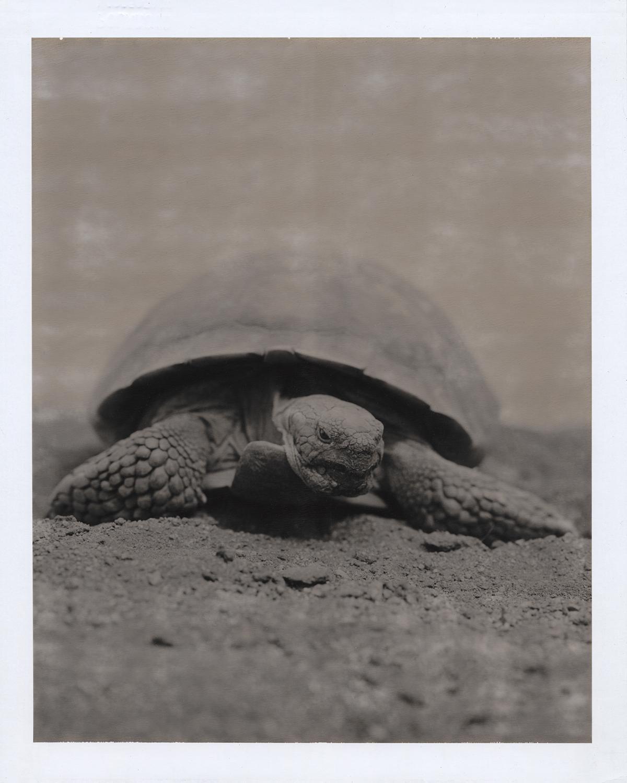 """Tortoise"", Joshua Tree, California, 2005"