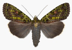 Anapplectoides Virens, Nature Photograph of Brown, Olive Green Moth on White