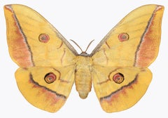 Antheraea Yamamai, Nature Photograph of Yellow, Coral, Brown Moth on White