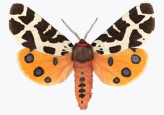 Arctia Caja Manchuria, Nature Photograph of Orange Moth on White Background