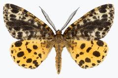 Arichanna Melanaria, Nature Photograph of Yellow, Brown, Black Moth on White