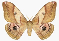 Caligula Japonica Female, Nature Insect Photograph of Golden Brown Moth on White