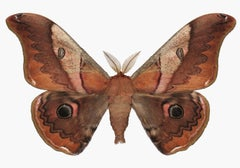 Caligula Japonica Male, Nature Insect Photograph of Mahogany Brown Moth on White
