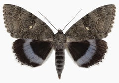 Catocala Fraxini, Nature Photograph of Gray and Brown Moth on White Background