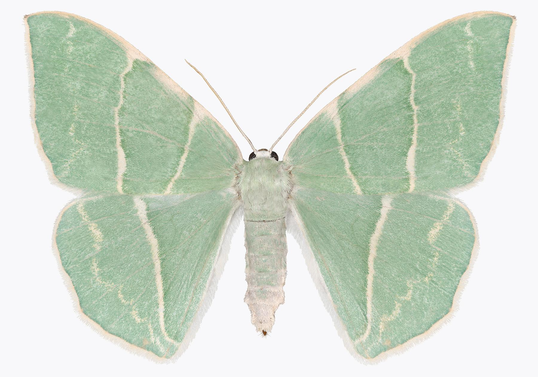 Geometra Glaucaria, Nature Photograph of Light Green, Ivory Moth on White