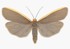 Ghoria Gigantea, Nature Insect Photograph of Light Brown, Orange Moth on White