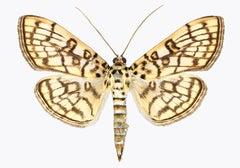 Haritalodes Basipunctalis, Nature Photograph of Brown and Yellow Moth on White