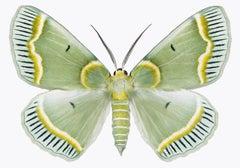 Iotaphora Admirabilis, Nature Photograph of Light Green, Yellow Moth on White