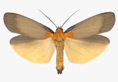 Lithosia Quadra Male, Nature Photograph of Light Brown, Orange Moth on White