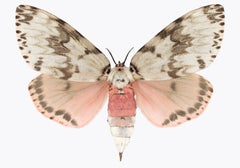 Lymantria Mathura, Nature Photograph of Pink and Brown Moth on White Background