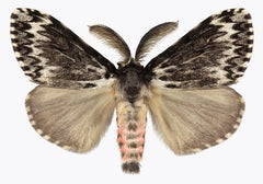 Lymantria Species, Nature Photograph of Pink and Brown Moth on White Background