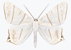 Ourapteryx Species, Nature Photograph of White, Brown, Beige Moth on White