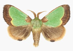 Parasa HIlarula, Nature Insect Photograph of Light Green, Brown Moth on White