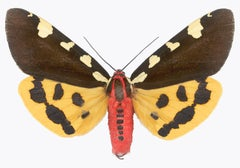 Pericallia Matronula Male Nature Photograph of Yellow, Brown, Red Moth on White