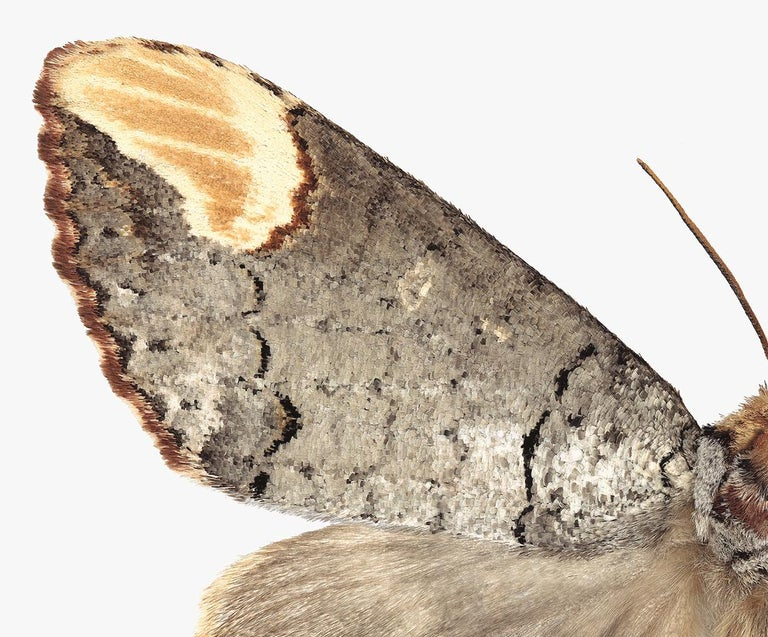 Phalera Assimilis, Nature Photograph of Beige and Brown Moth on White Background - Gray Color Photograph by Joseph Scheer