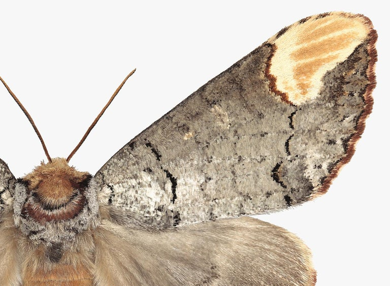 In this hyper-detailed archival pigment print on watercolor paper, a brown moth with black, beige, white and golden brown details on is dramatic against a solid white background.   Edition 1/12. Signed and numbered on recto. Price shown is the