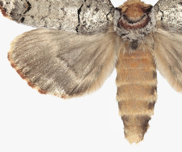 Phalera Assimilis, Nature Photograph of Beige and Brown Moth on White Background For Sale 1