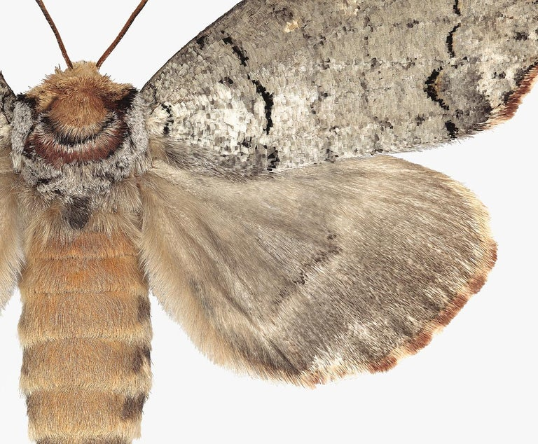 Phalera Assimilis, Nature Photograph of Beige and Brown Moth on White Background For Sale 2