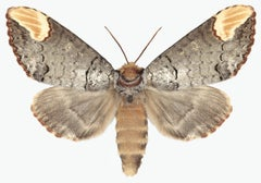 Phalera Assimilis, Nature Photograph of Beige and Brown Moth on White Background